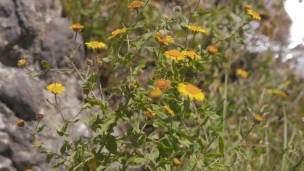 Žluté květy s horami v pozadí. Krym. Zelenogorie