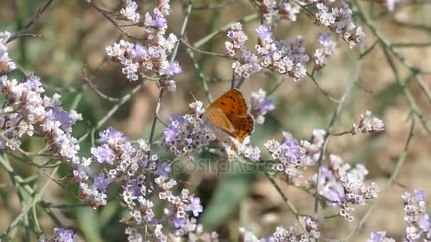 Butterflies on the thorns blooming with beautiful purple flowers.