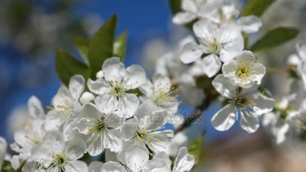 Blooming cherry blossoms in spring. Close-up in motion.