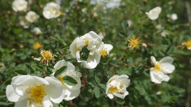 Beetle Golden brantovka on extended flower.