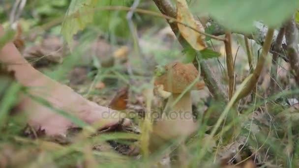 die Geschenke des Herbstes. Steinpilze