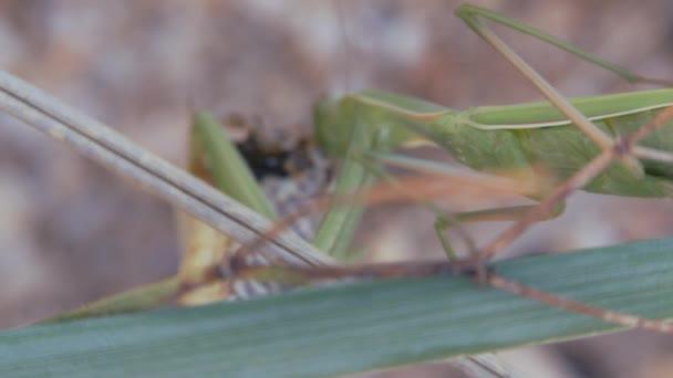Insekten in ihrem natürlichen Lebensraum. Gottesanbeterin frisst die Heuschrecke. Mantis religiosa, Gottesanbeterin frisst die Heuschrecke. großes räuberisches Insekt, das sich mit seinen vorderen Gliedmaßen an das Greifen von Nahrung angepasst hat.