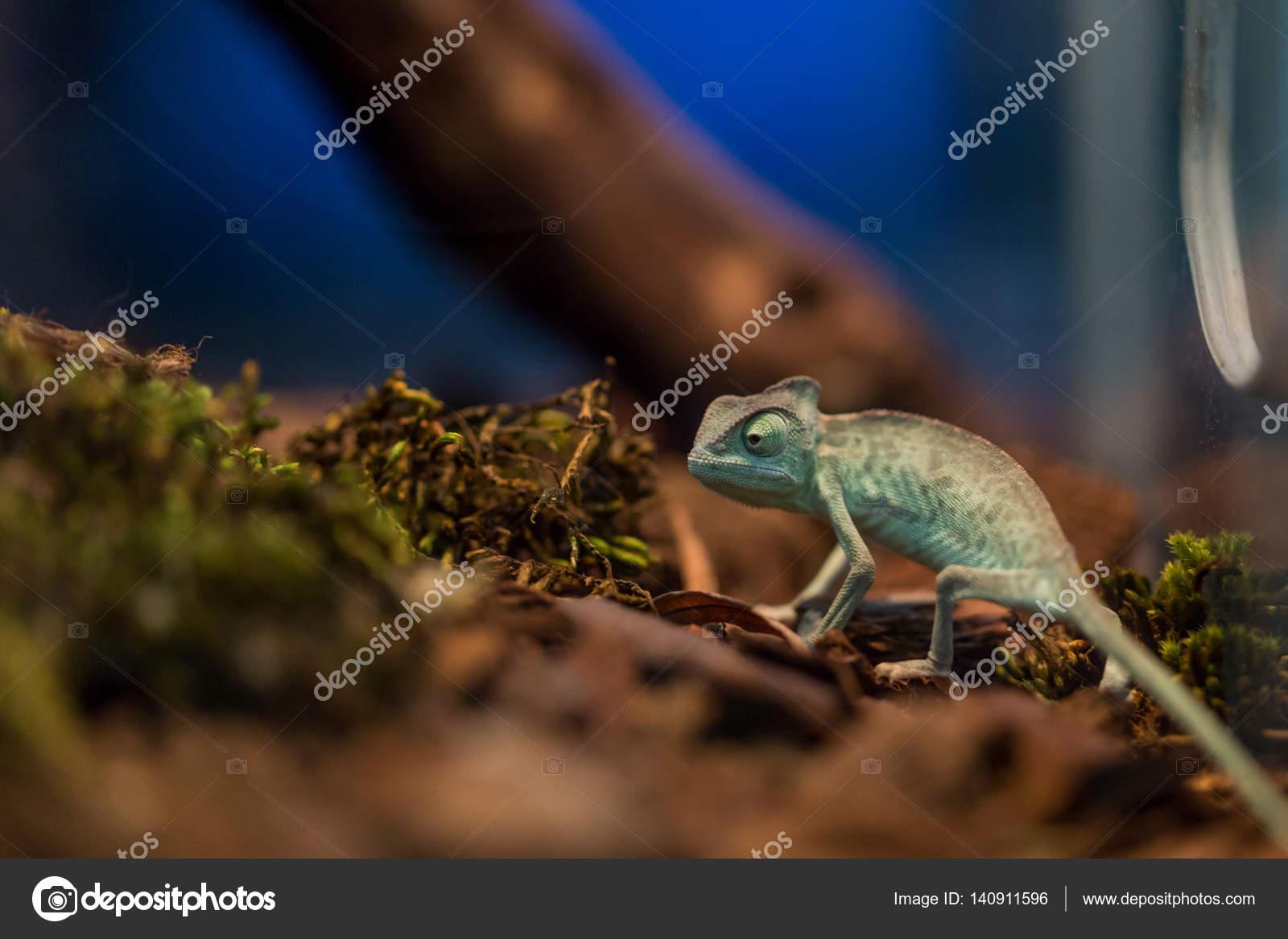 Small Lizard In Terrarium For Home Decor Stock Photo C Sytnik