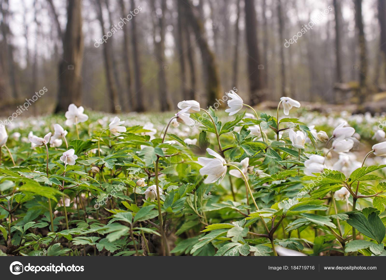 Beautiful Wild White Flowers In Forest Stock Photo Radnatt