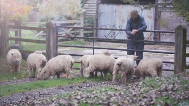 4K Farmer giving feed to his sheep as they graze in the field