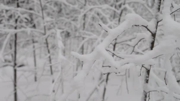 Zasněžené borovice zimní les