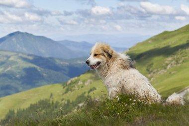 Shepherd dog in mountaind, sitting in the grass