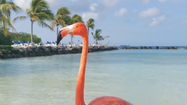 Fenicotteri sulla spiaggia. Isola di Aruba