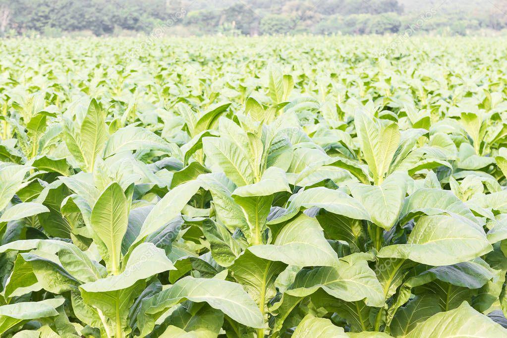 Close up Common tobacco
