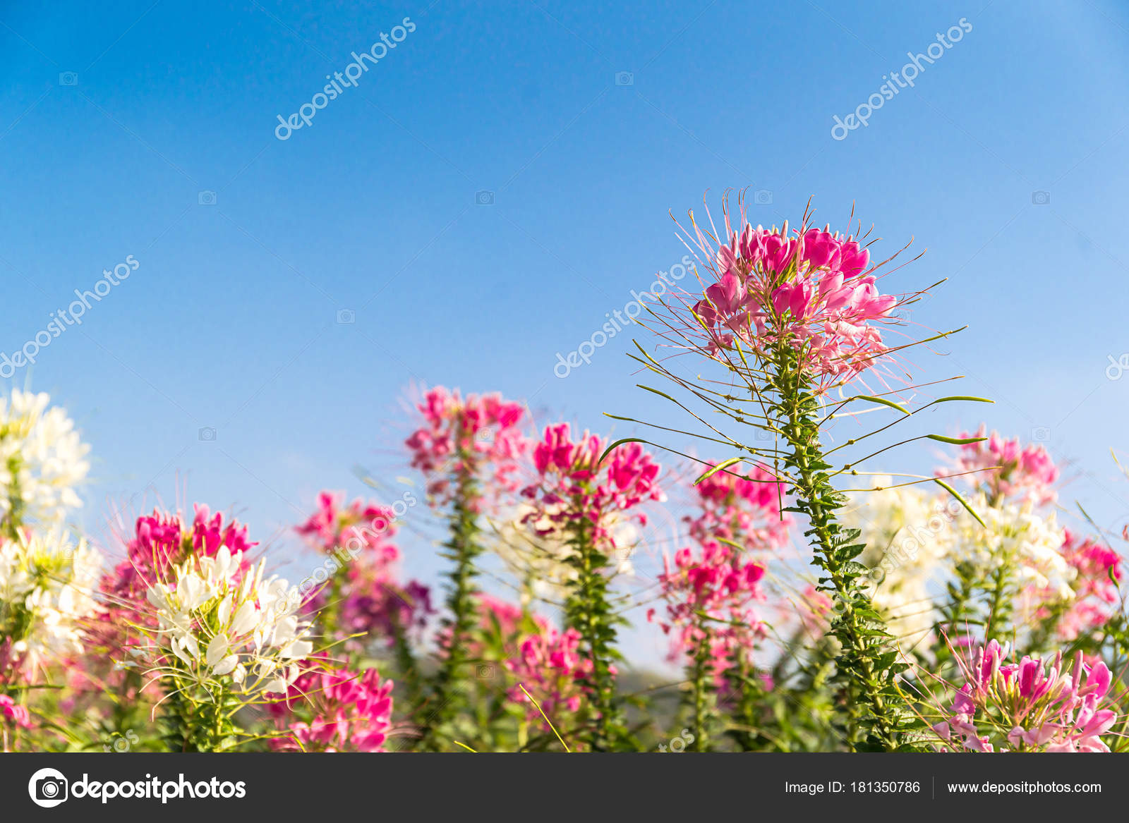 Pink And White Spider Flower Agent Blue Sky Stock Photo Stoonn