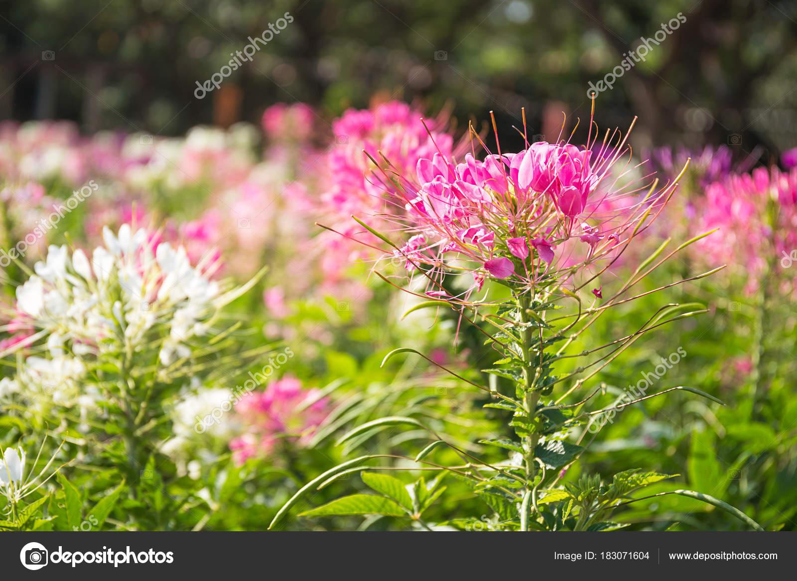 Pink And White Spider Flower In The Garden Stock Photo Stoonn
