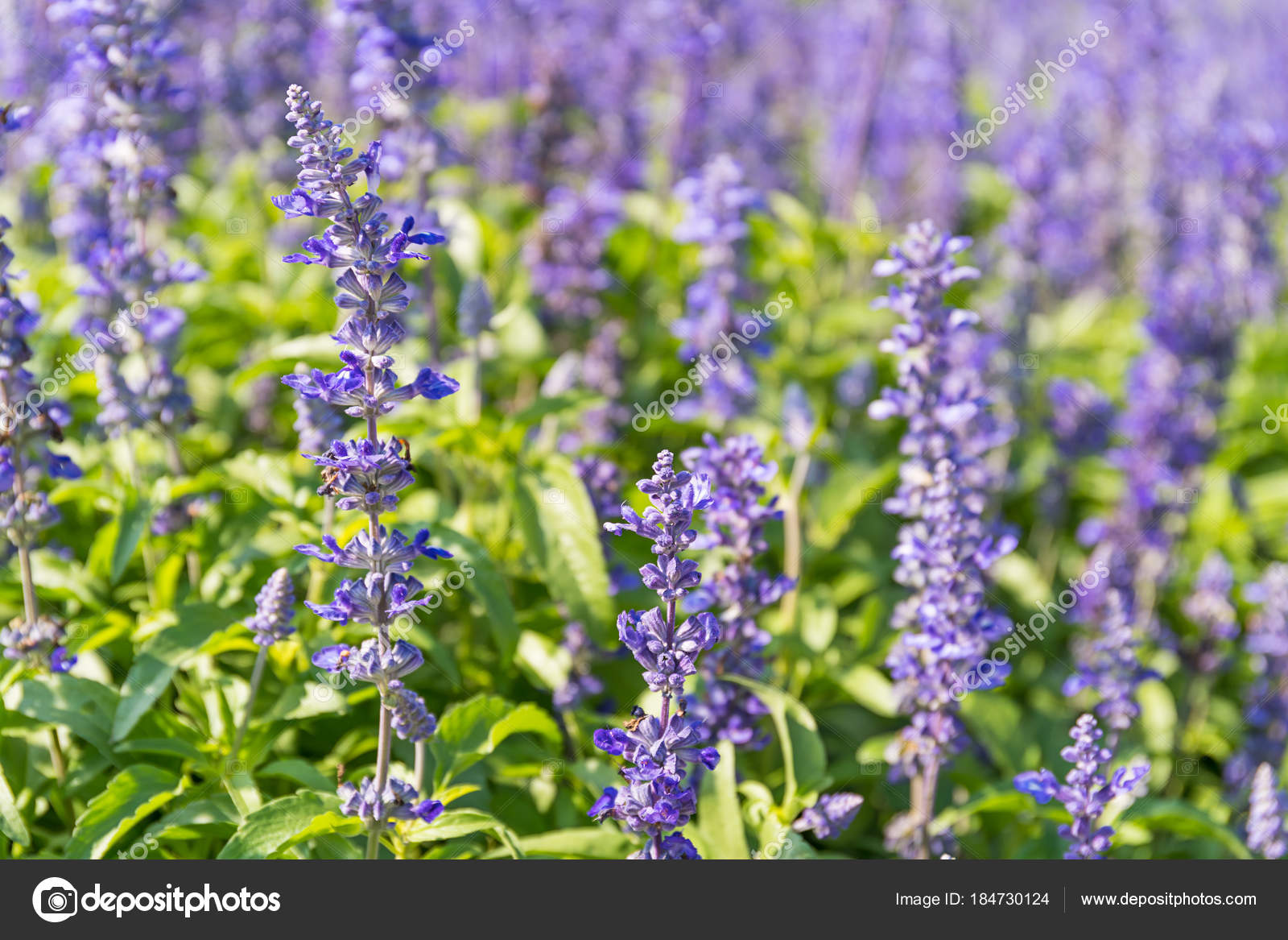 Blaue Salvia Blumen blühen im Garten — Stockfoto © stoonn #184730124