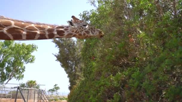 Žirafa v parku na ostrově Kypr
