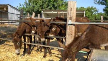 grote ezels met grote lullen