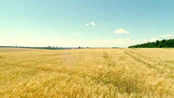 pšenice polní v létě,