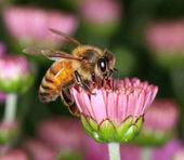 Méh pink flower bud