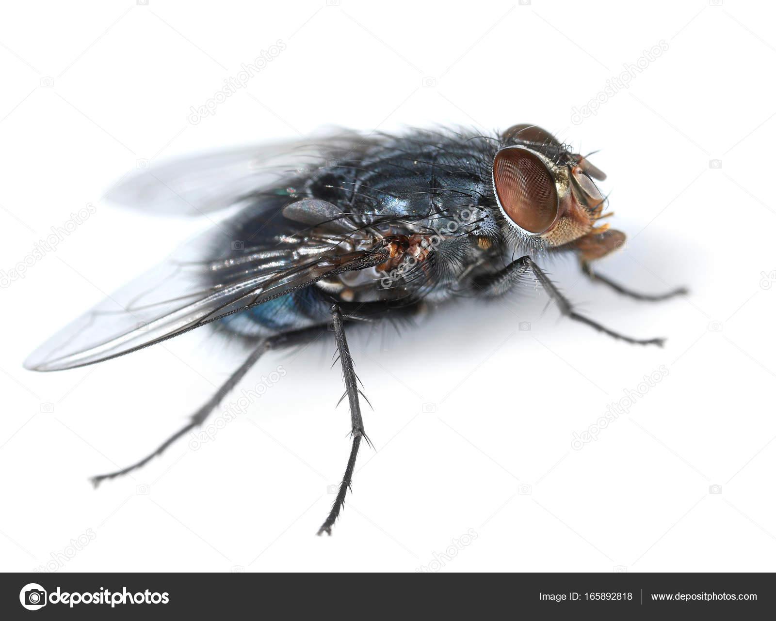 Housefly on white side view — Stock Photo © anterovium #165892818