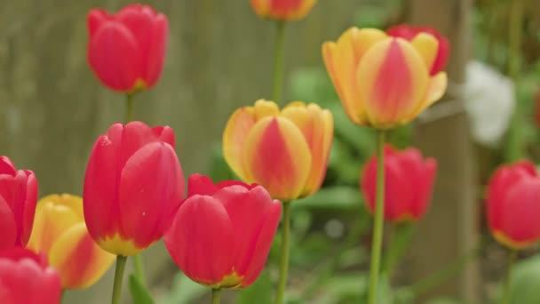 Színes tulipán közelről