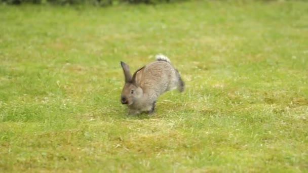 Coniglio grigio su erba verde