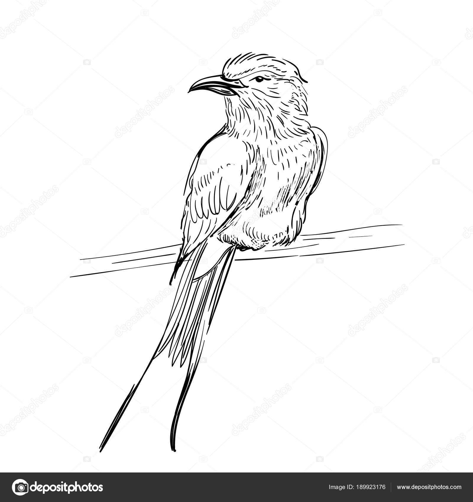 Handgezeichnete Vektor-Illustration. Skizzieren Sie Vögel. Tinte ...