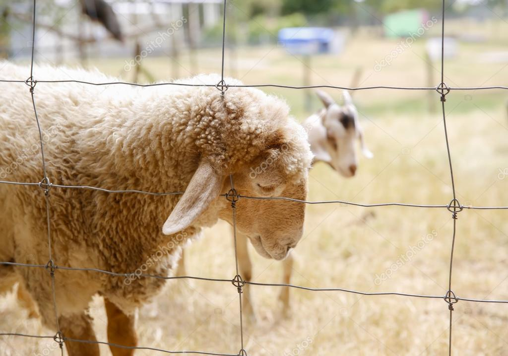 Close up of New Zealand sheep behind the wire fence