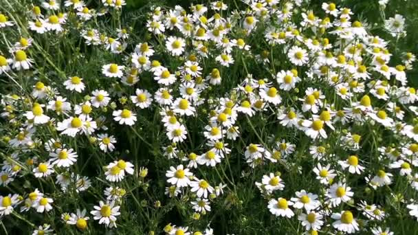chamomile flowers on a sunny day, gentle wind