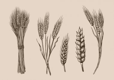 wheat ears sketch