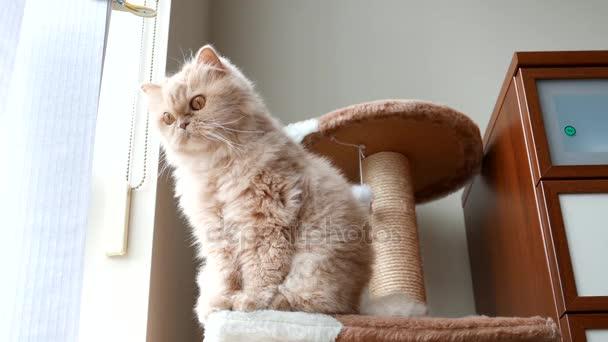 Perserkatze sitzt auf Katzenbaum und spielt mit Menschen