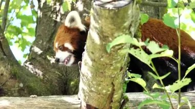 Motion of red panda is walking on the tree