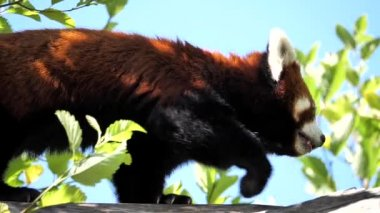 Slow motion of red panda is walking on the tree