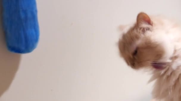 1272042d5528 Κίνηση του περσική γάτα παίζει παιχνίδι με τους ανθρώπους στο σπίτι– πλάνα  αρχείου