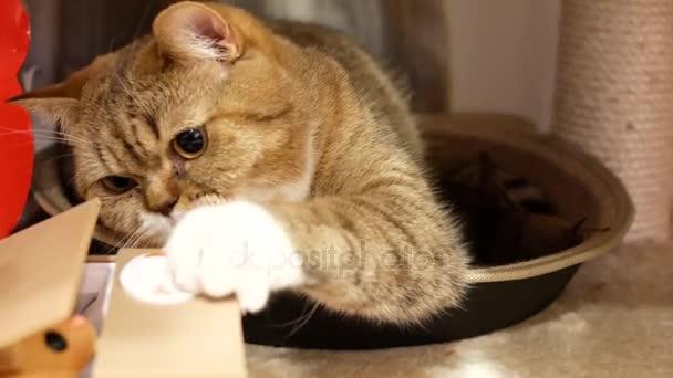 8b91db6e6f5e Κίνηση Του Tabby Γάτα Παίζει Παιχνίδι Στο Πάτωμα — Αρχείο Βίντεο ...