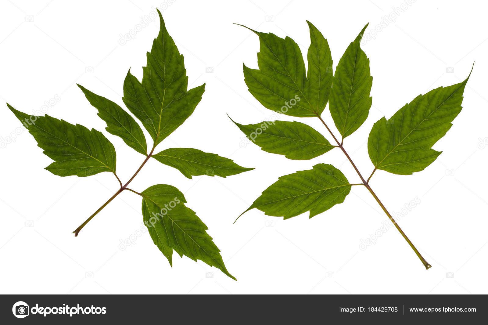 клен американский листья
