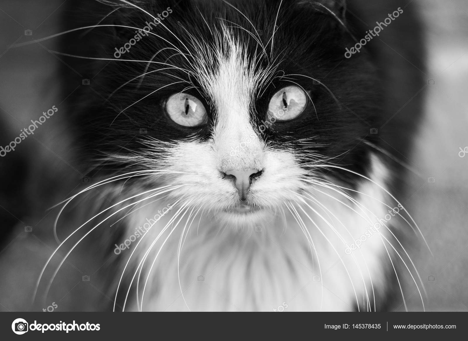Black And White Cat Screensaver For Your Desktop Stock Photo