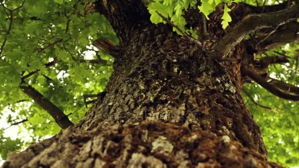 Oak tree - Vertical Dolly