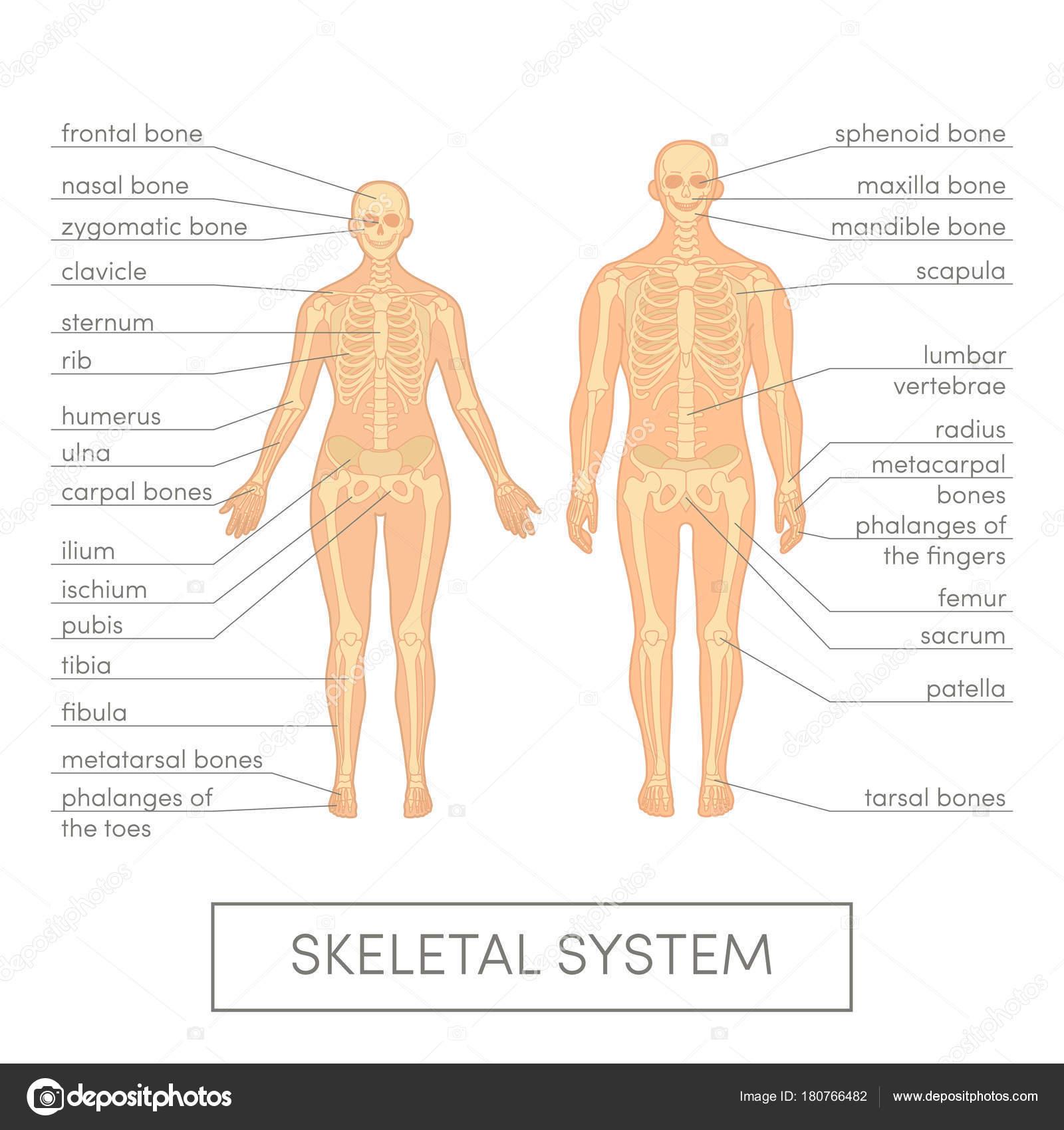 Skeletal System Vector Stock Vector Marinaua 180766482