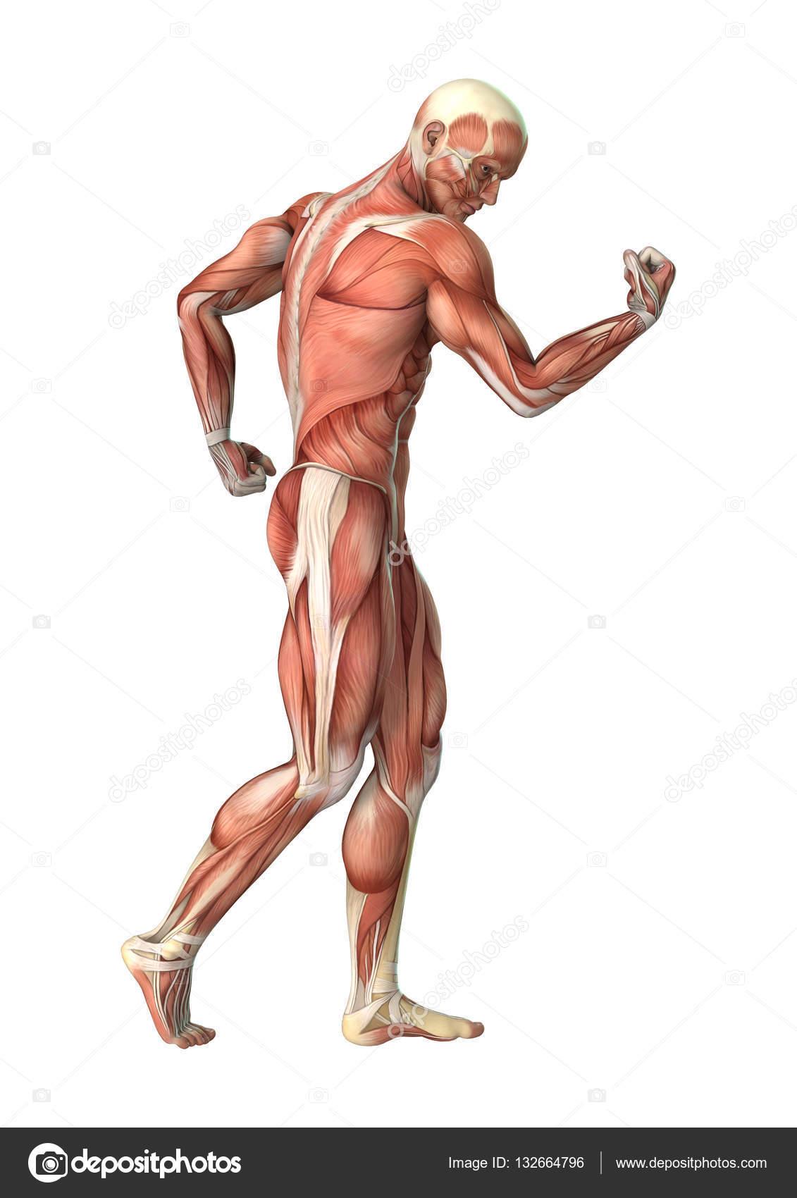 Nett Herz Anatomie 3d Modell Fotos - Anatomie Von Menschlichen ...