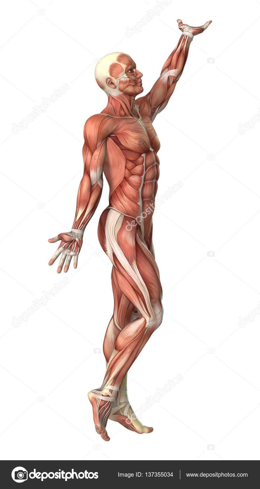 3d Rendering Male Anatomy Figure On White Stock Photo Photosvac