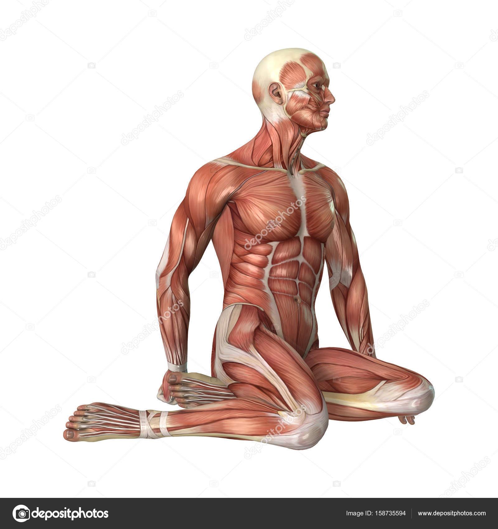 3D Rendering männliche Figur Muskel Karten auf weiß — Stockfoto ...