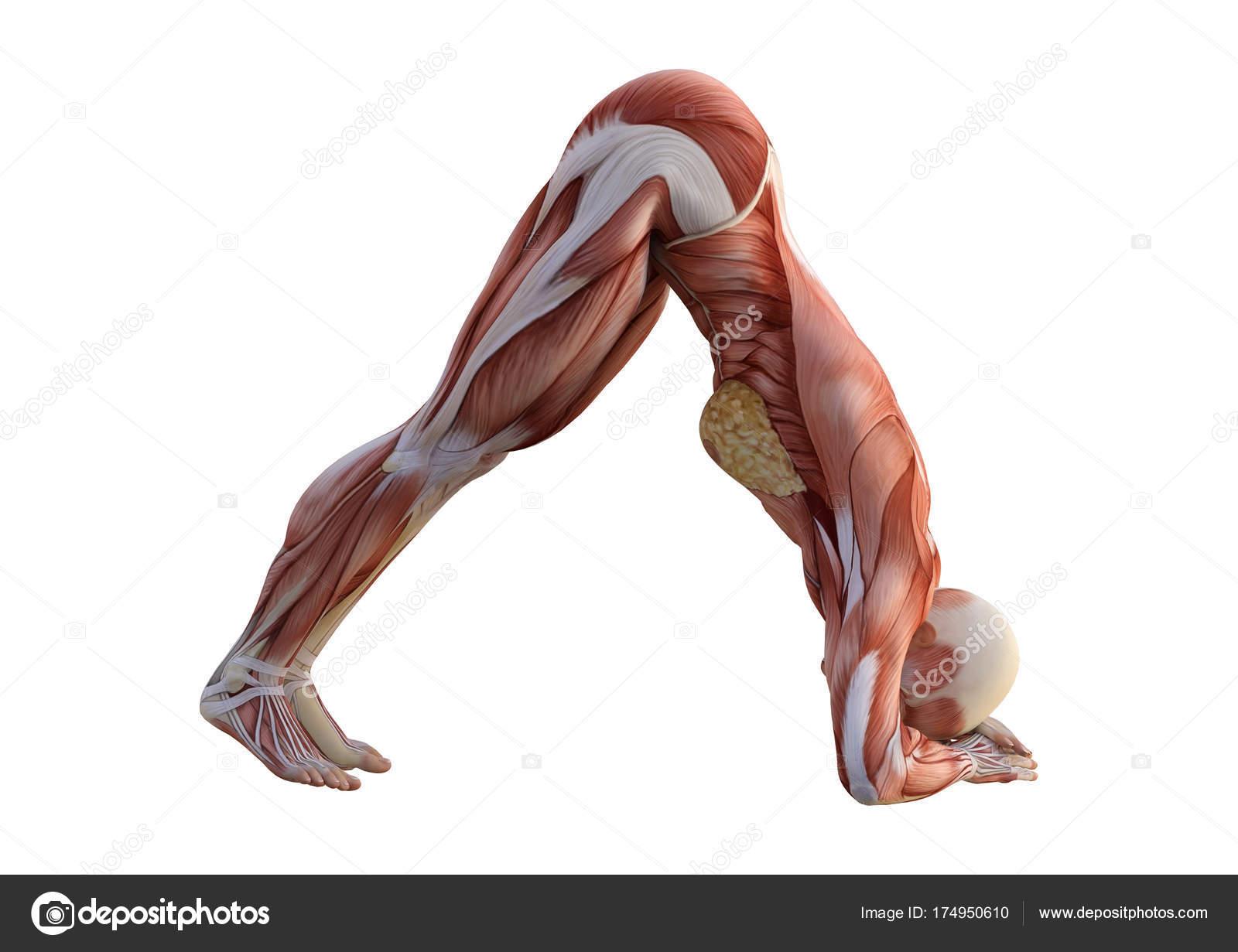 3D Rendering Female Anatomy Figure on White — Stock Photo