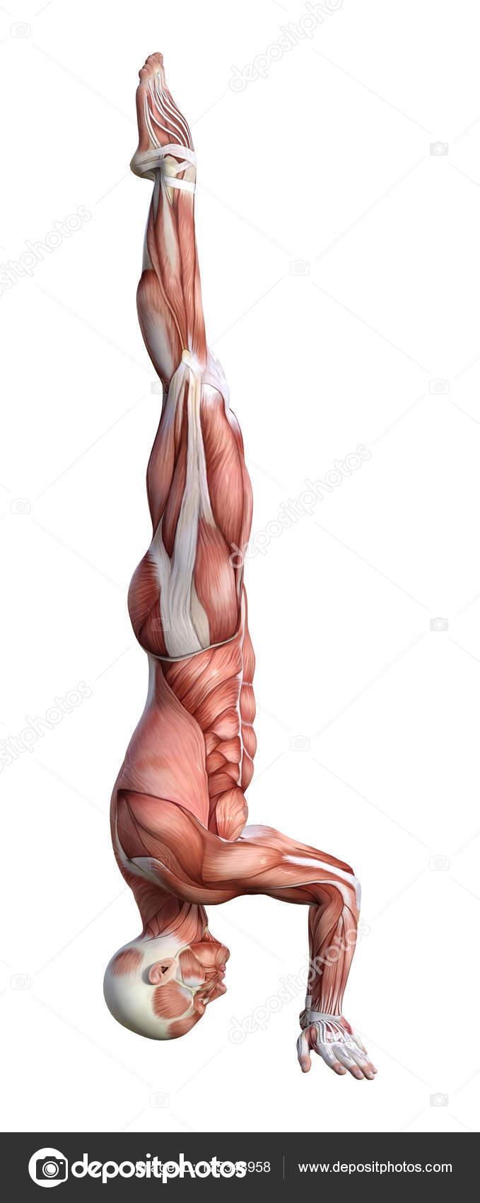 Beste 3d Männliche Anatomie Fotos - Anatomie Ideen - finotti.info