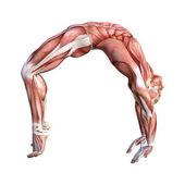 3D vykreslování obrázku mužské anatomii na bílém