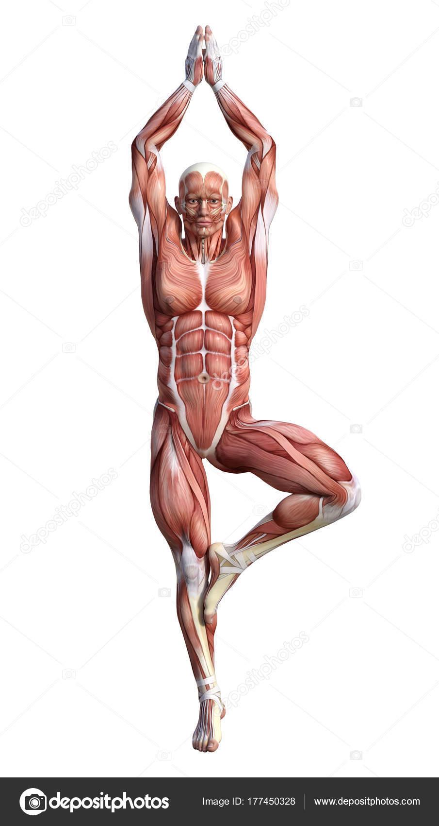 3D Rendering Male Anatomy Figure on White — Stock Photo © PhotosVac ...