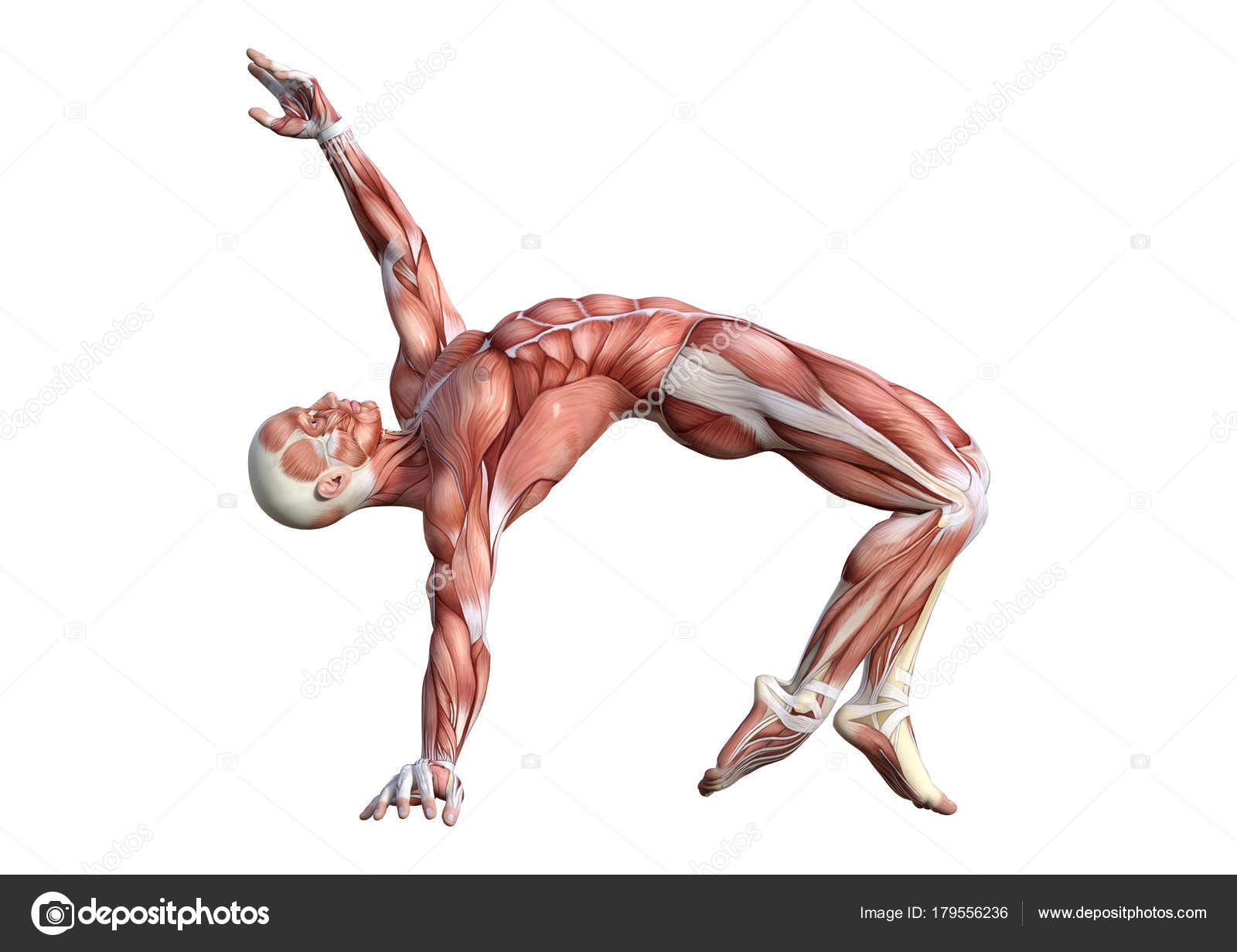 3D Rendering Male Anatomy Figure on White — Stock Photo © PhotosVac ...