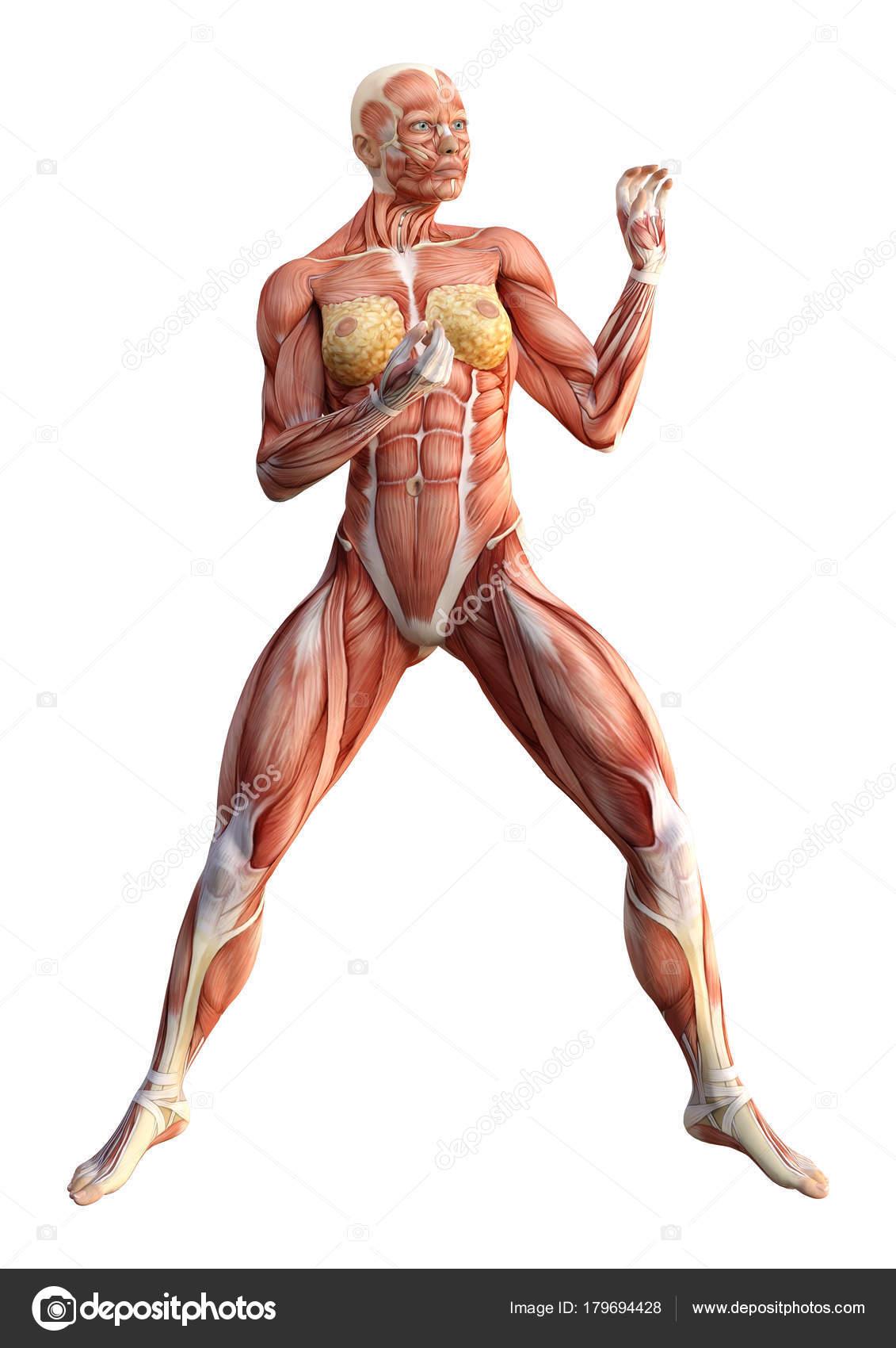 3D Rendering weibliche Anatomie Abbildung auf weiß — Stockfoto ...
