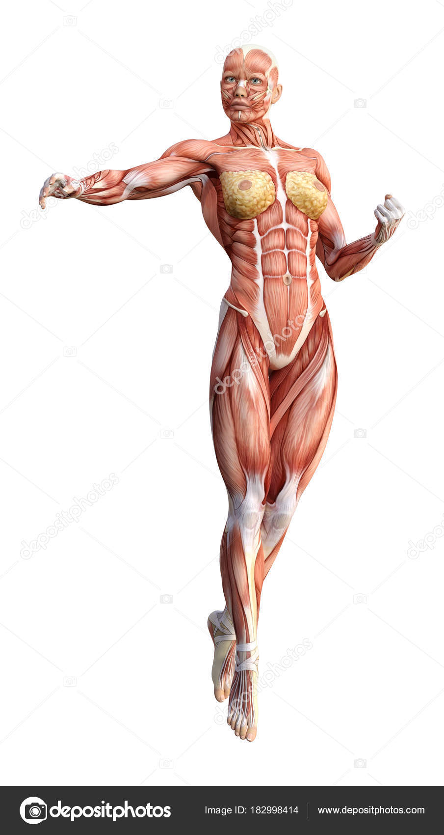3D Rendering Female Anatomy Figure on White — Stock Photo ...