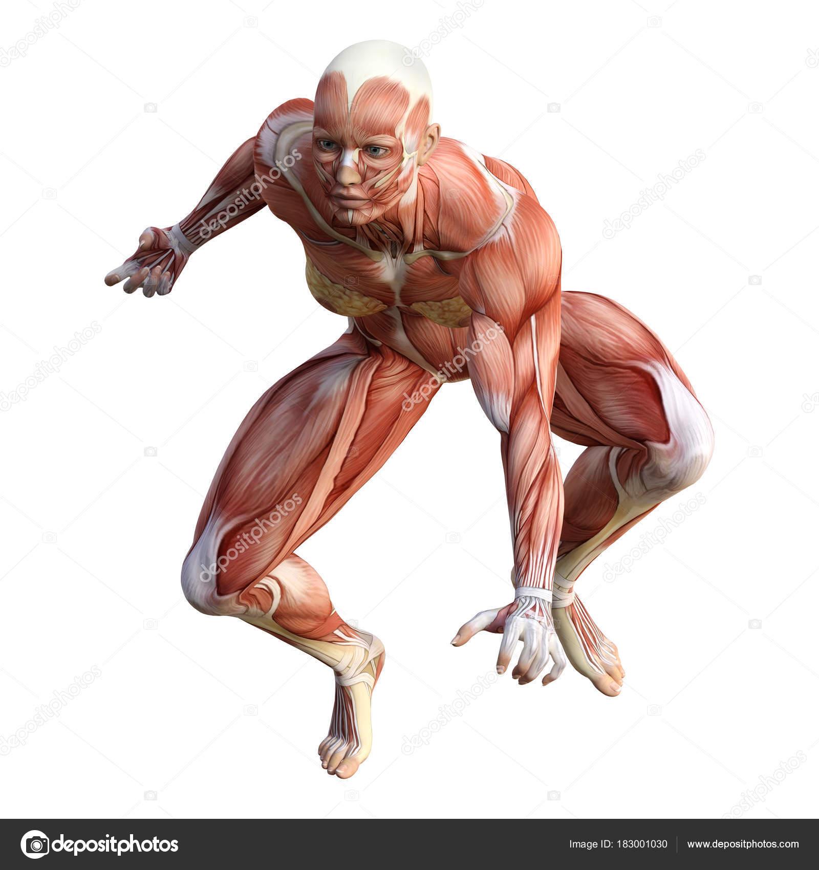 Figura de anatomía femenina renderizado 3D sobre blanco — Fotos de ...