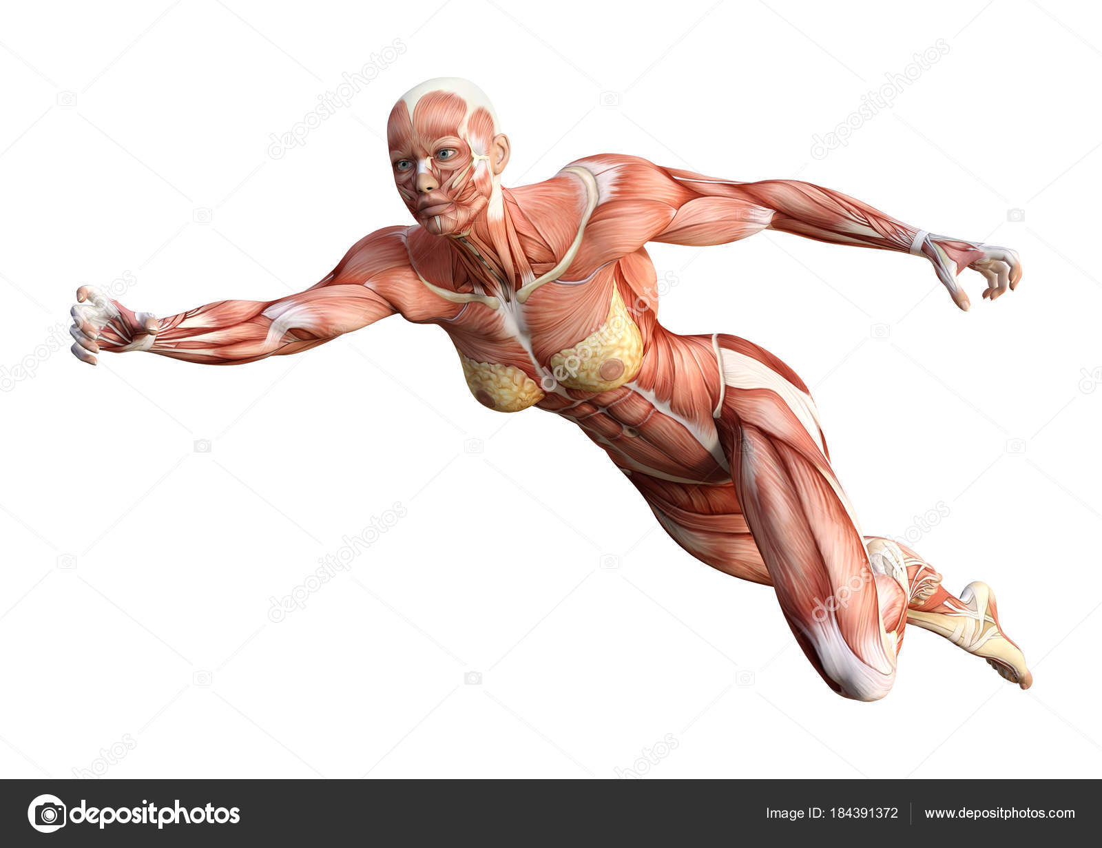 3d Rendering Female Anatomy Figure On White Stock Photo