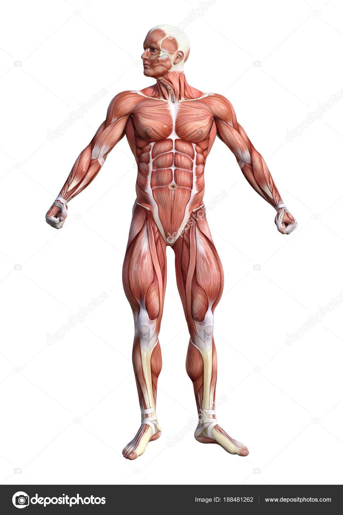 representación de anatomía masculina Figura 3D sobre blanco — Fotos ...