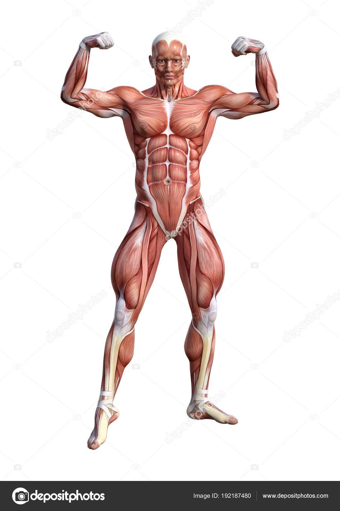 Magnificent Male Anatomy Figure Illustration - Anatomy Ideas ...